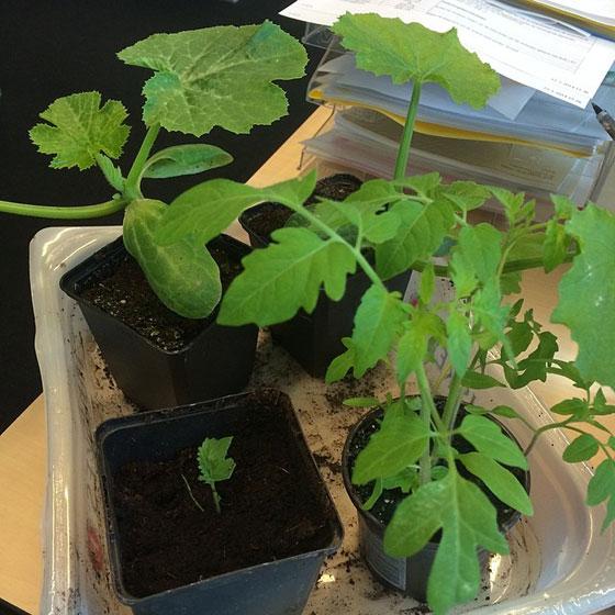 courgette, palmkool, tomaatplantjes